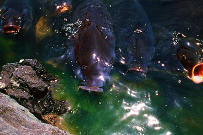 清澄庭園の鯉