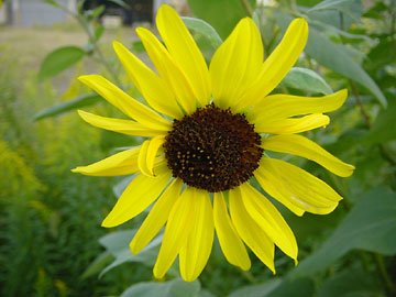 20051009-sunflower.jpg