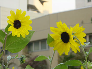20051020-sunflower02.jpg