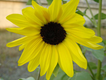 20051020-sunflower03.jpg