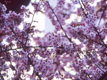 20060309-cherry_blossoms.jpg