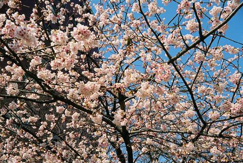 20070306-cherry_blossoms03.jpg