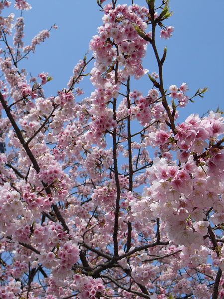 20080319-cherry_blossoms04.jpg