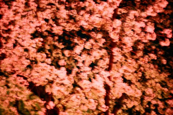 20080406-cherry_blossoms08.jpg