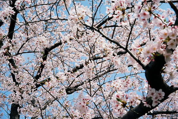 20080410-cherry_blossoms10.jpg