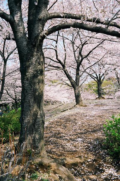 20080411-cherry_blossoms11.jpg