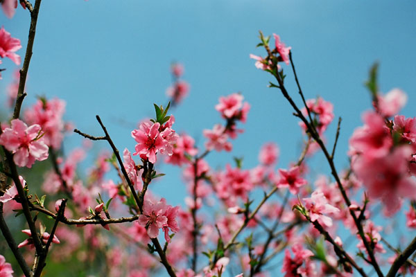 20080414-cherry_blossoms12.jpg