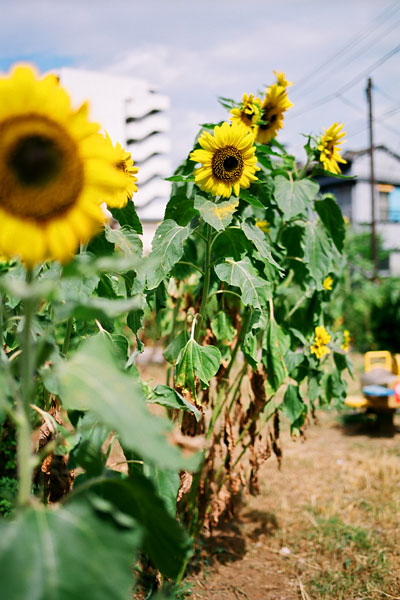 20080804-sunflower04.jpg