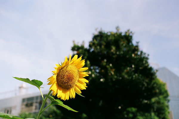 20080819-sunflower05.jpg