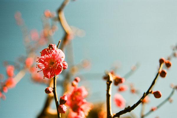 20090129-ume_blossoms.jpg