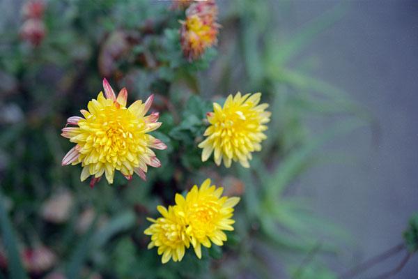 20090305-yellow06.jpg