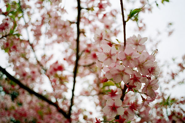 20090314-cherry_blossoms13.jpg