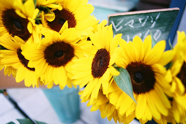 20090617-sunflower06.jpg
