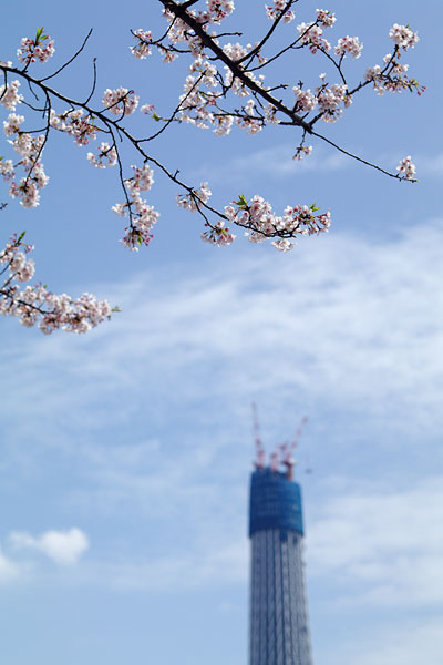 20100410-cherry_blossoms16.jpg