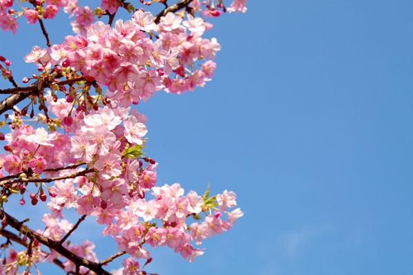 20110318-cherry_blossoms20.jpg