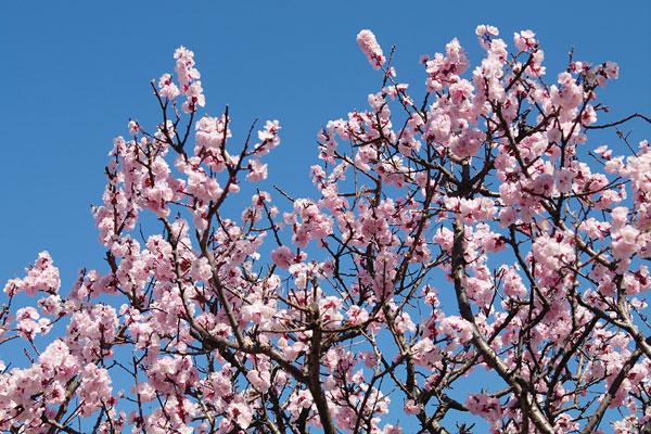 20110328-cherry_blossoms21.jpg