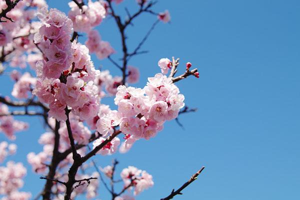 20110329-cherry_blossoms22.jpg