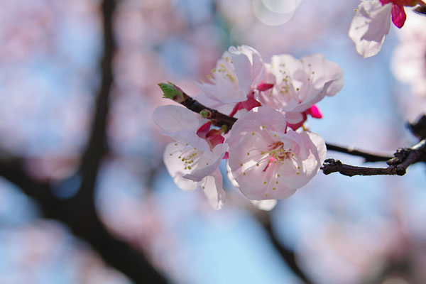 20110330-cherry_blossoms23.jpg