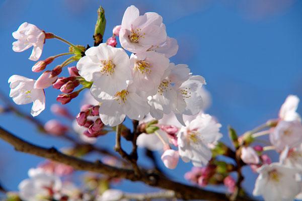 20110408-cherry_blossoms25.jpg