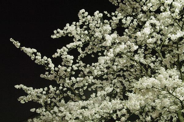 20110413-cherry_blossoms28.jpg