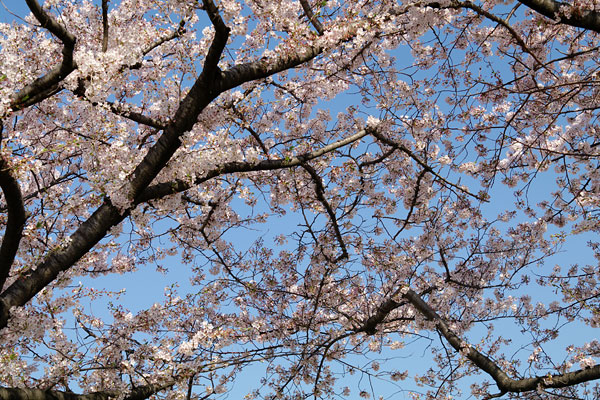 20110415-cherry_blossoms30.jpg