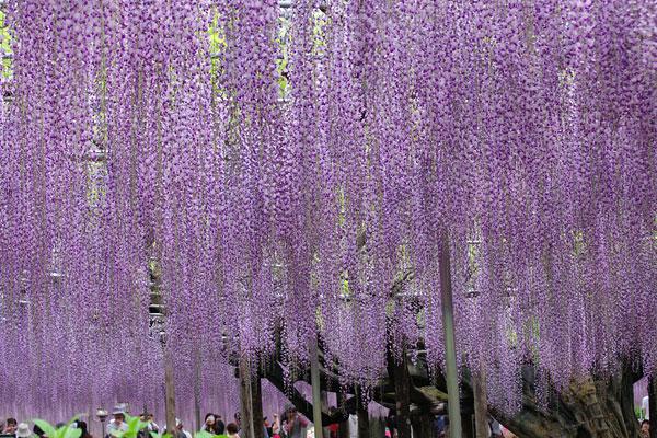 20110513-wisteria03.jpg